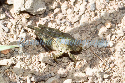 An endemic grasshopper.