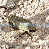 An endemic grasshopper.