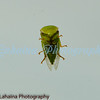 Endemic leaf hopper on my windshield.