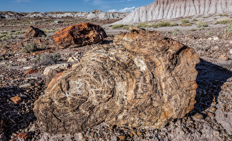 Cross-Section of Petrified Wood