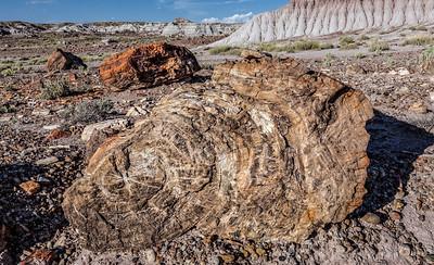 Cross-Section of Petrified Wood