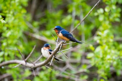 Barn Swallows, Ford Lake, Michigan