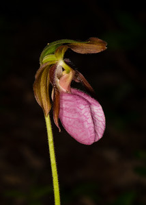 Pink Ladyslipper Orchid