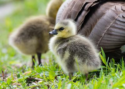 Canada Goslings, Ford Lake, Michigan