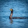 Cormorant, Bodega Harbor