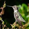 Rufous Hummingbird, Sonoma County