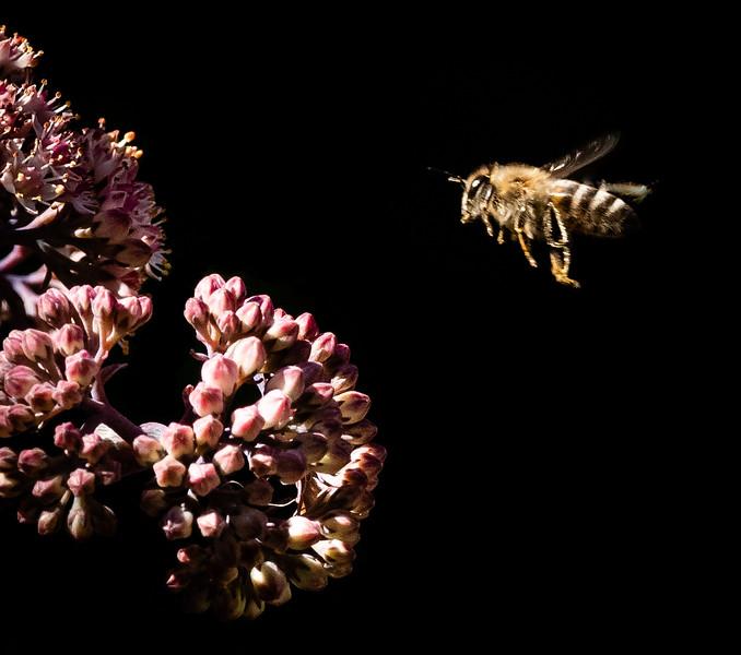 Apis Mellifera Bee, Snoma County