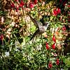 Rufous Hummingbird, Santa Clara County