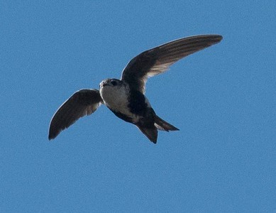 White-throated Swift at Jacumba 5-28-17