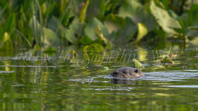 Northern River Otter