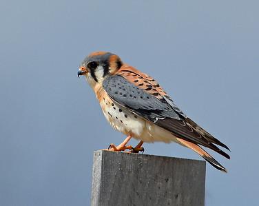 Kestrel, Male 1, Eagle Point NWR, Derby, Vt