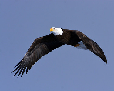 Bald Eagle In Flight 8, Morgan. Vt