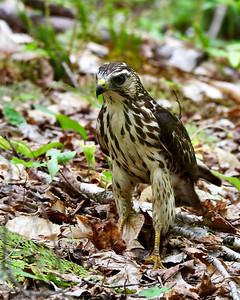 Broad Winged Hawk, Juvenile 2, Warren Gore, Vt
