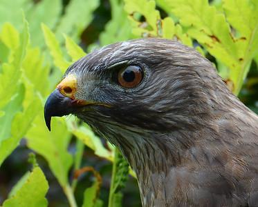 Broad Winged Hawk Close-up 1, Morgan, Vt