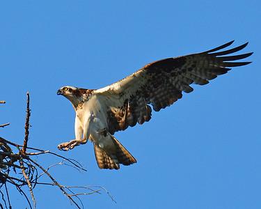 Osprey Landing 1, Ferdinand, Vt