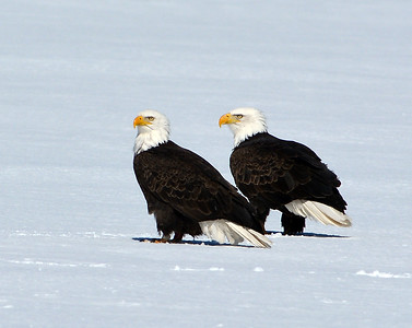 Bald Eagle Pair 1, Seymour Lake, Vt