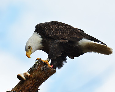 Bald Eagle 4, Seymour Lake, Vt