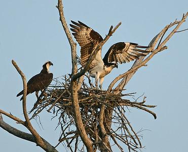 Osprey Pair, Nest Building, Charleston, Vt