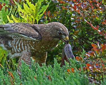Broad Winged Hawk With Gartersnake, Close-up, Morgan, Vt