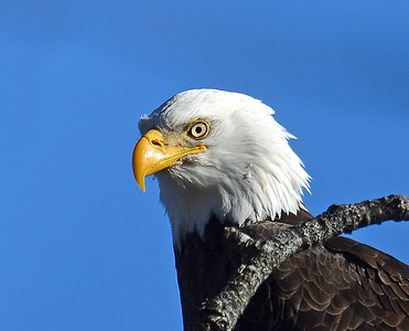 Bald Eagle Close-up, Seymour Lake, Vt
