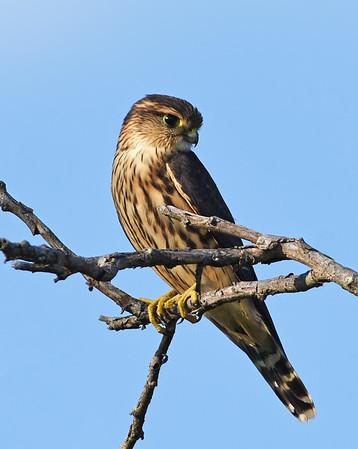 Merlin, Female 1, Eagle Point NWR, Derby, Vt