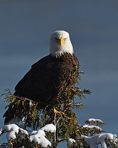 Bald Eagle Looking At Me, Seymour Lake, Vt