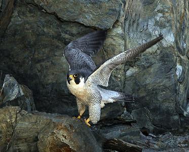 Peregrine Falcon Taking Flight, Barnet, Vt