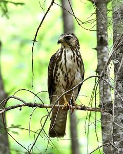 Broad Winged Hawk, Juvenile 1, Warren Gore, Vt
