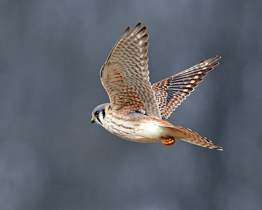 American Kestrel In Flight 6, Eagle Point NWR, Derby, Vt
