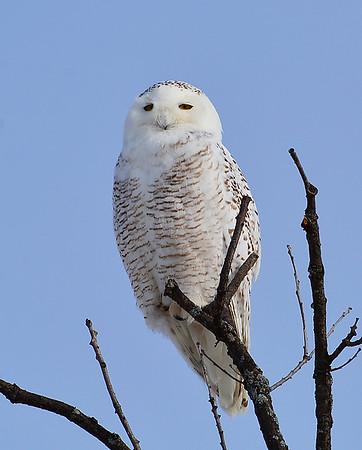 Snowy Owl In Tree, Addison, Vt