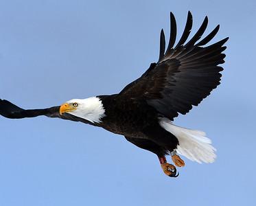 Bald Eagle In Flight 11, Morgan, Vt
