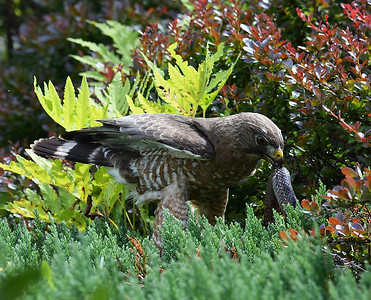 Broad Winged Hawk With Gartersnake, Morgan, Vt