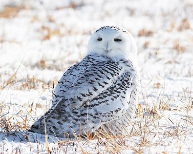 Snowy Owl In Field 1, Addison, Vt