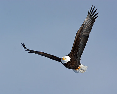 Bald Eagle In Flight 6, Seymour Lake, Vt