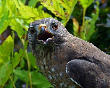 Broad Winged Hawk Close-up 2, Morgan, Vt