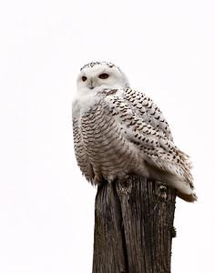 Snowy Owl, Morristown, Vt