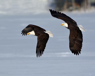 Bald Eagle Pair In Flight 1, Seymour Lake, Vt