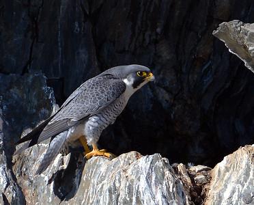 Peregrine Falcon 1, Barnet, Vt