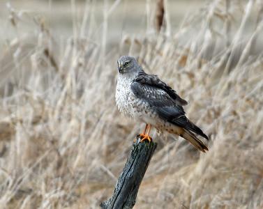 Merlin, Male, Eagle Point NWR, Derby, Vt