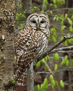 Barred Owl 1, Wenlock WMA, Vt