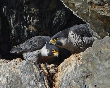 Peregrine Falcon Pair, Barnet, Vt