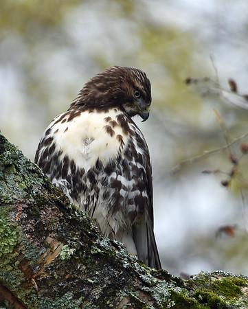 Red Tail Hawk  2, Eagle Point NWR, Derby, Vt