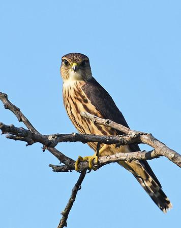 Merlin, Female 2, Eagle Point NWR, Derby, Vt