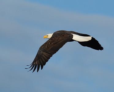 Bald Eagle In Flight 4, Seymour Lake, Vt