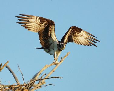 Osprey Landing 2, Charleston, Vt