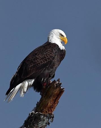 Bald Eagle On Dead Tree 2, Seymour Lake, Vt