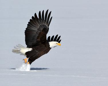 Bald Eagle Take Off 1, Seymour Lake, Vt