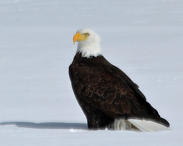 Bald Eagle Portrait 1, Seymour Lake, Vt
