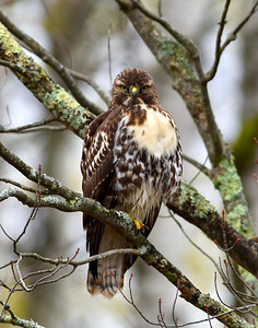 Red Tailed Hawk 4, Derby, Vt