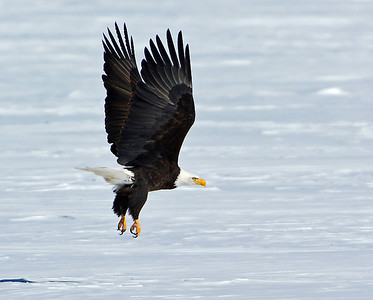 Bald Eagle Take-off 2, Seymour Lake, Vt